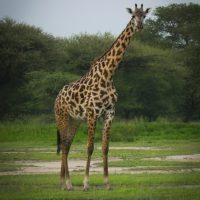 A giraffe as seen on an Embark Serengeti safari