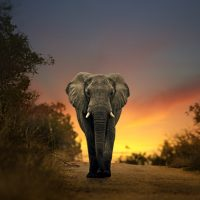 A large Africa elephant walking in sunset
