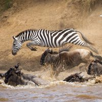 A zebra leaping across a river
