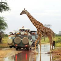 A giraffe crossing the road as seen on an Embark Serengeti safari