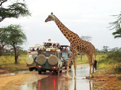 A giraffe crossing the road as seen on an Embark Serengeti safari
