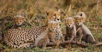 A female cheetah with two cubs