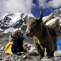 Yaks carrying supplies to Mt. Everest Base Camp, Himalayas, Nepal