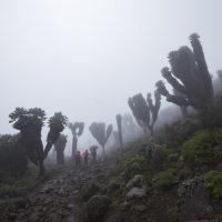 Dendrosenecio kilimanjari trees in the fog.