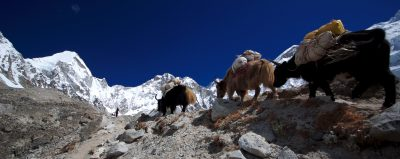 Yak train making their way to Base Camp over the Khumbu Glacier, Nepal.